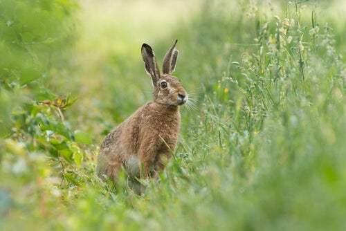 Rabbits Brown hare syndrome: characteristics