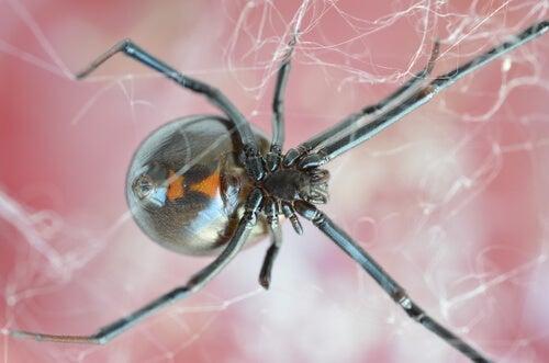 Black widow in a spider web.