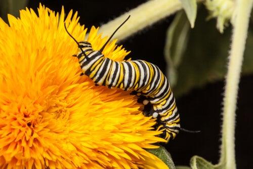 Monarch Butterfly Worm