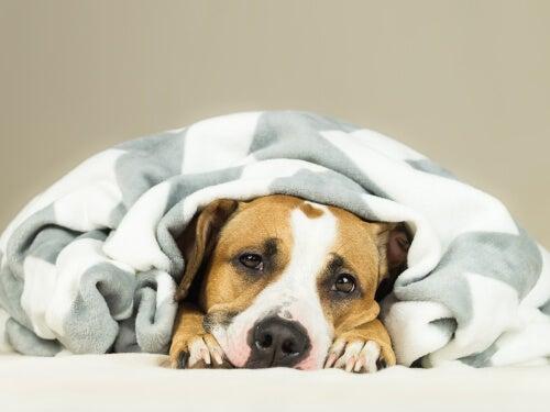 Sick dog with coronavirus.