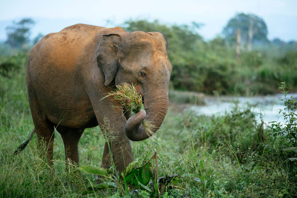 The elephant is one of the species to conserve biodiversity
