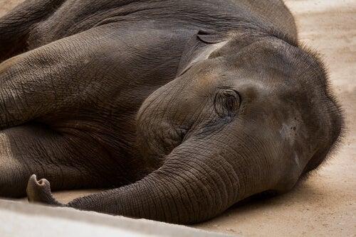 Bacterial diseases of elephants