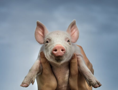 The Porcine Respiratory Complex and its characteristics –– My animals
