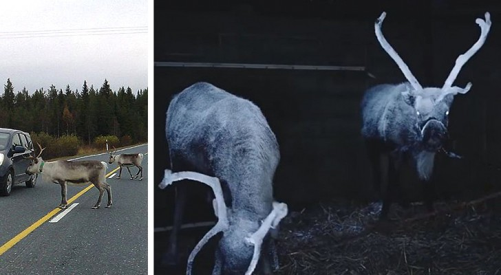 A Finnish association sprays reflective spray on reindeer horns to avoid traffic accidents