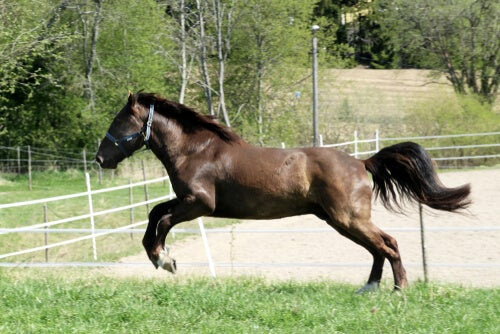Curiosities about the horse of Finland (Finnhorse) - My animals