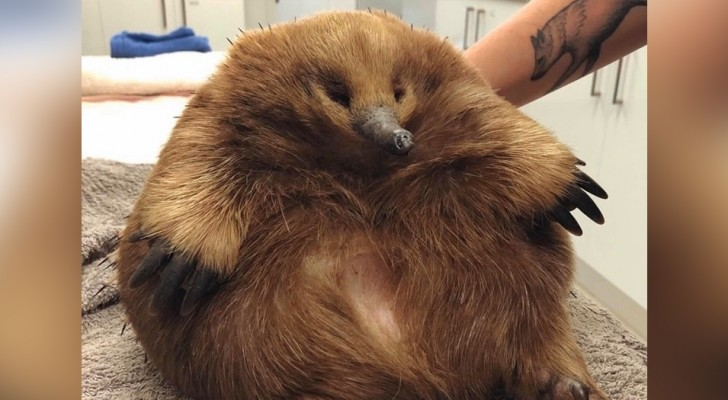 Eleanor, the Echidna so overweight that she managed to survive the collision with a car