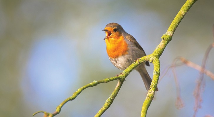 Hearing the birdsong will soon be rare: the experts 'alarm on birds' health