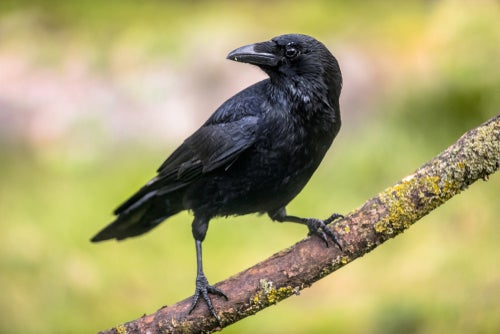 How do black crows and crows differ? - My animals
