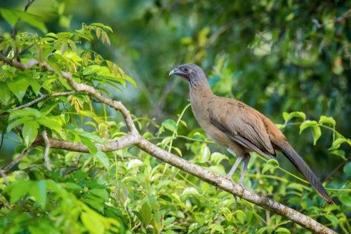 La guacharaca culirroja, a bird of the tropics - My animals