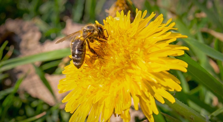 Let the dandelion grow: it can help us feed bees and other pollinators as soon as they come out of hibernation