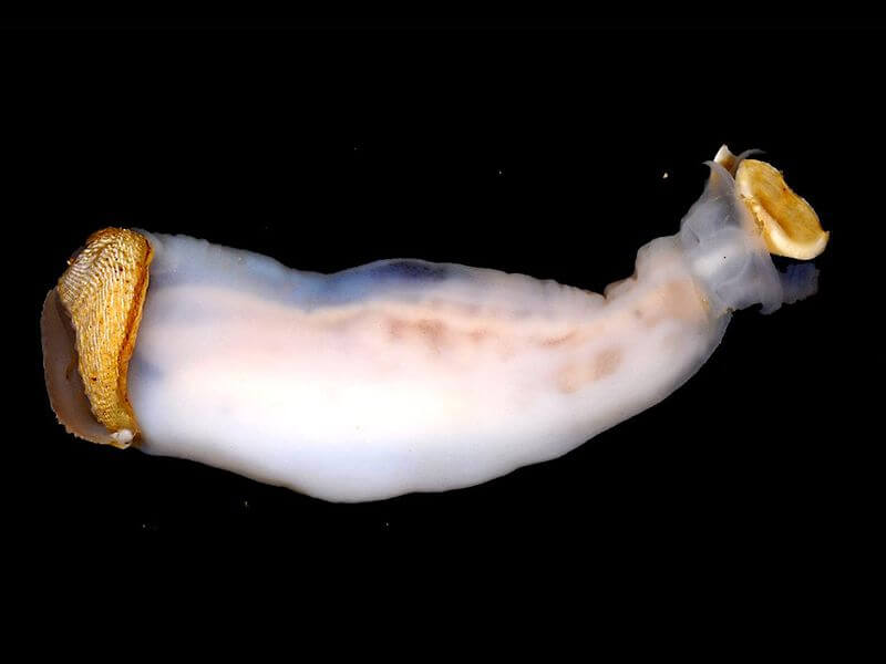 Lithoredo abatanica, the mollusk that can change the course of