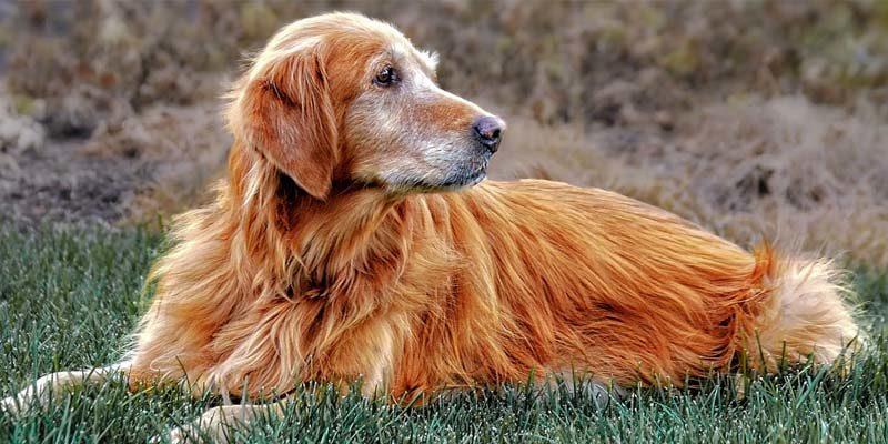 old dog-2-800x400
