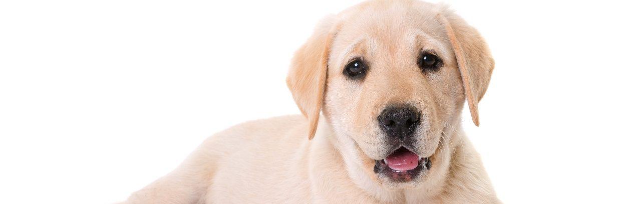 Umbilical hernia in puppies
