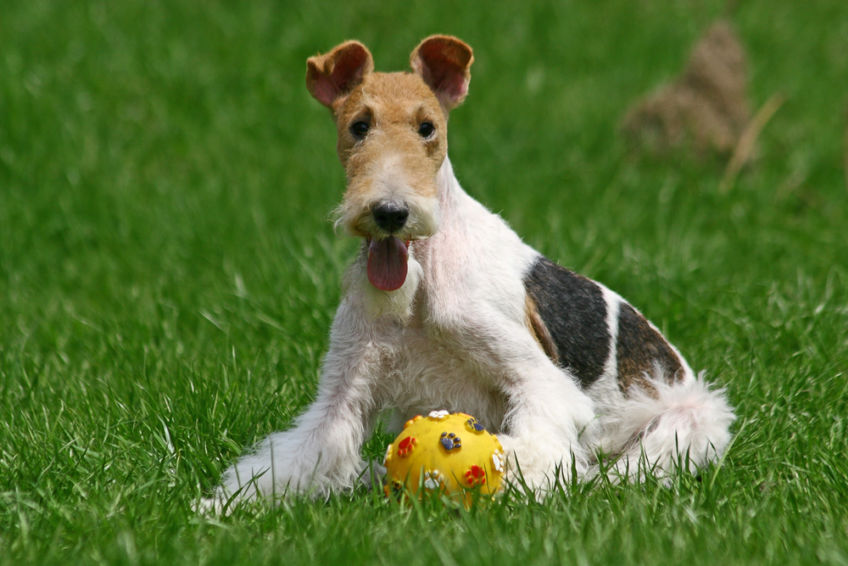 Fox terrier sitting on the grass with ball
