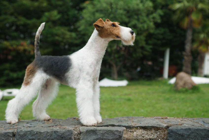 Fox terrier standing standing on a stone