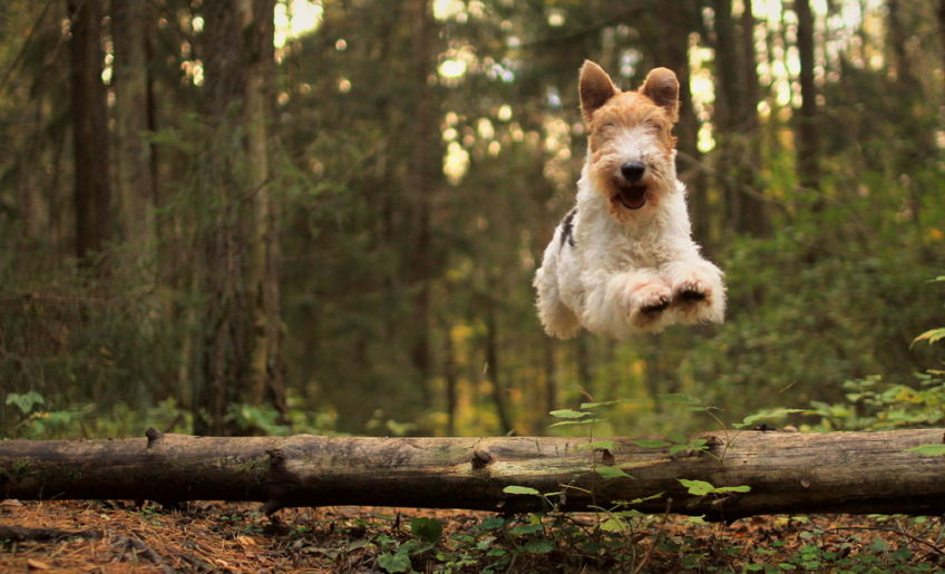 Fox terrier in a jump over the log