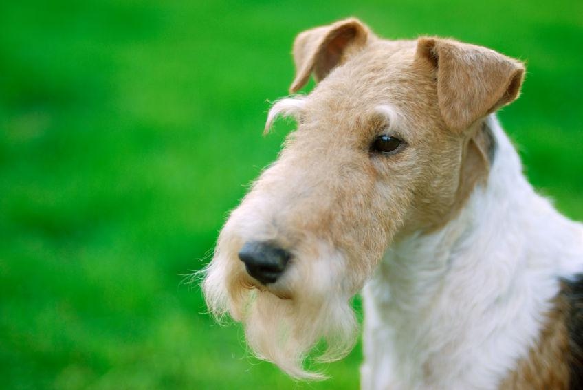 Portrait of a groomed fox terrier