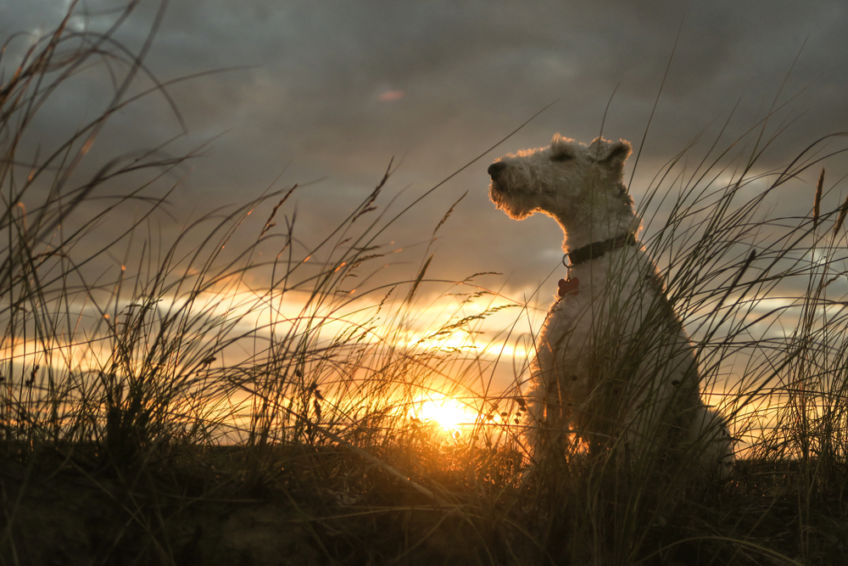 Fox terrier sitting against the backdrop of sunset