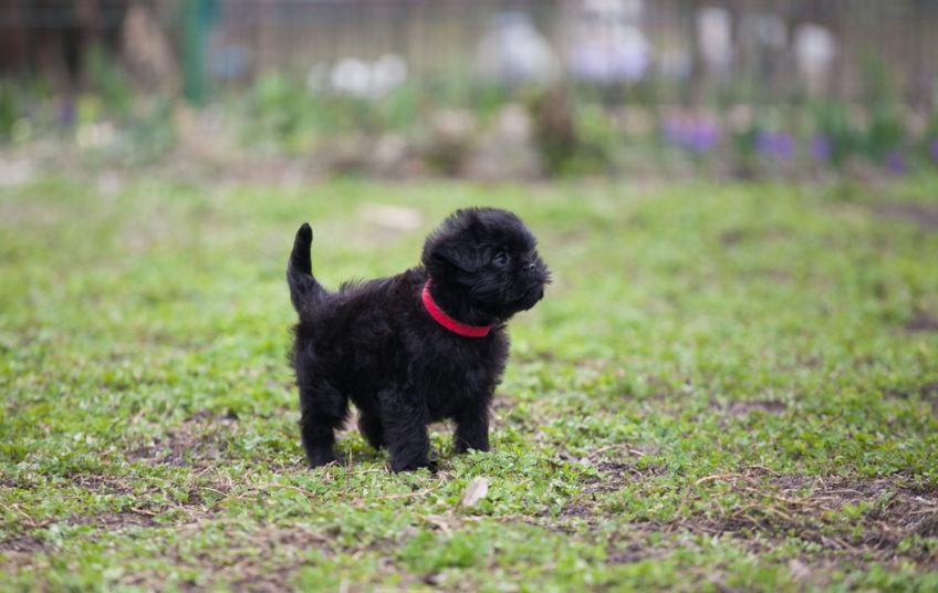 An affenpinczer puppy on the grass