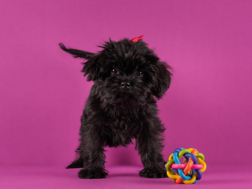Affenpinczera puppy in the studio on a purple background