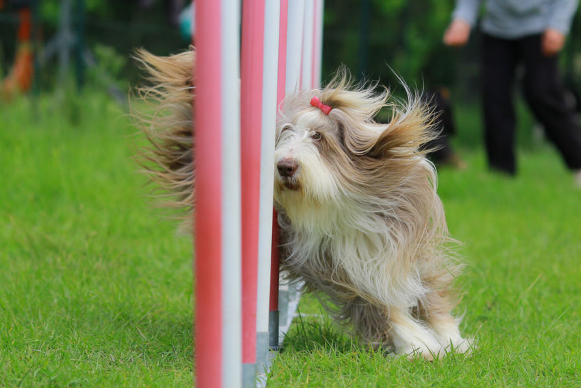 Bearded collie in the slalom