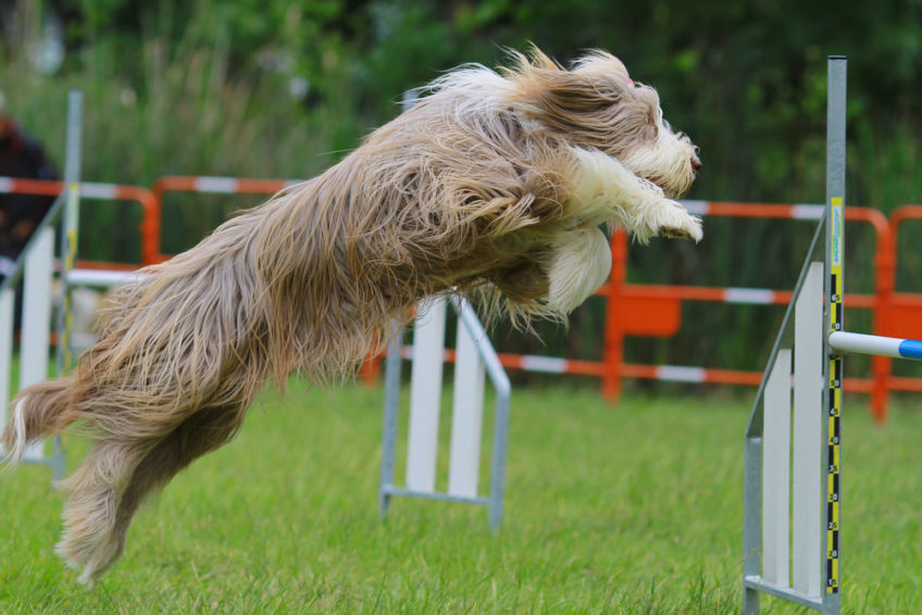 Bearded collie jumping over the stationary