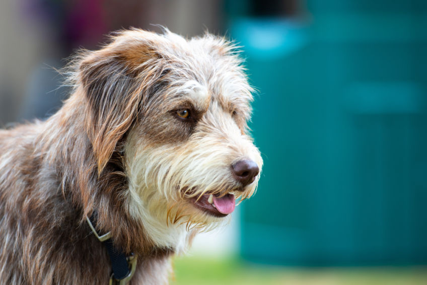Bearded collie working type