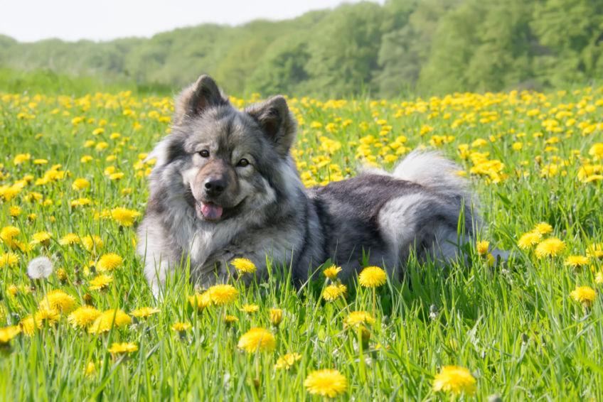 A wolf eurasier lying in a meadow