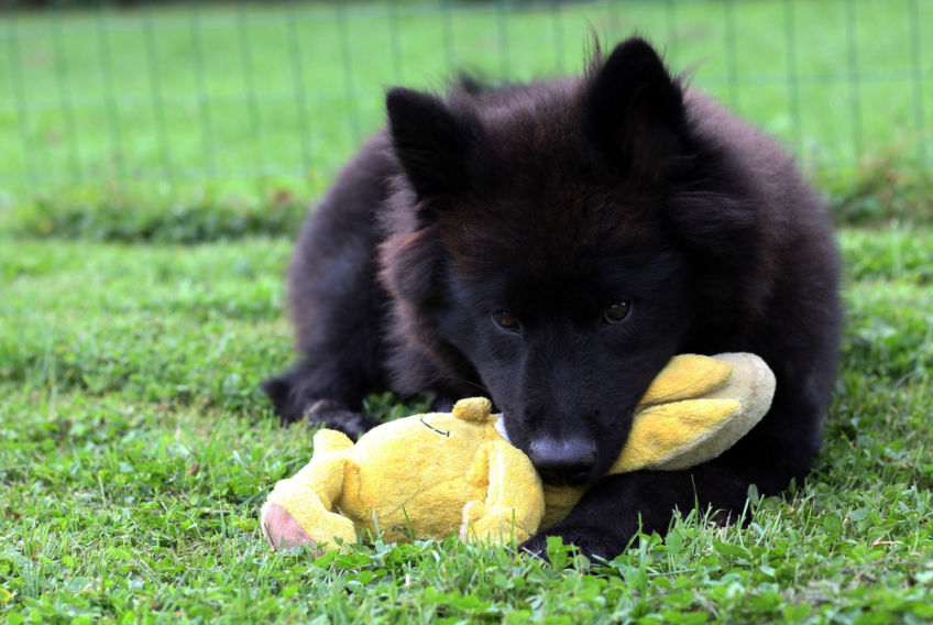 Black puppy with a toy