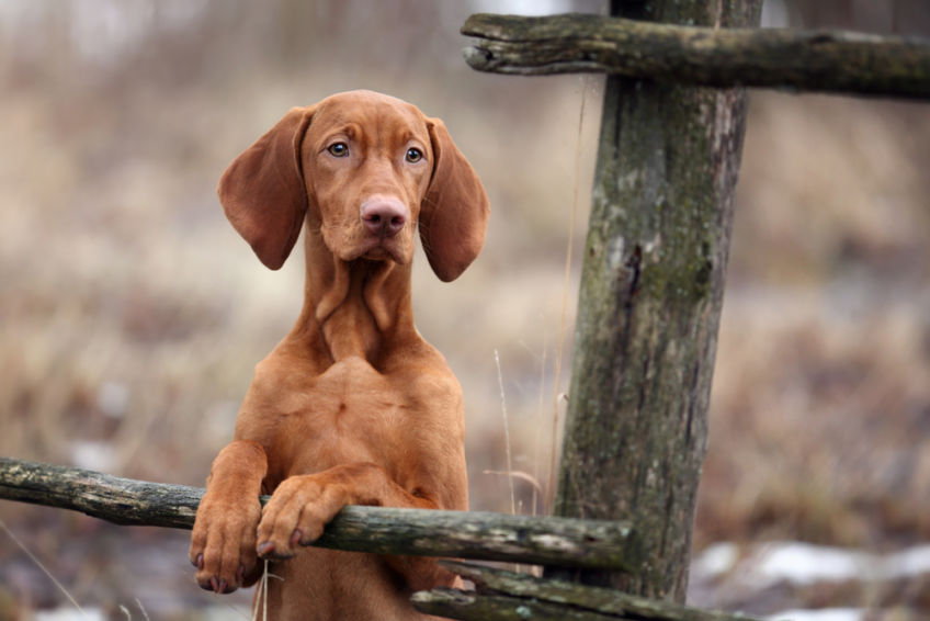 Portrait of a pointer puppy leaning on a ladder rung