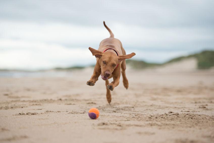 Vizsla running for a ball on the beach