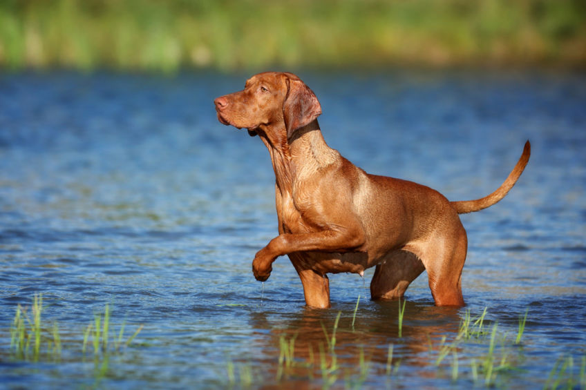 Vizsla standing on a stand in the water