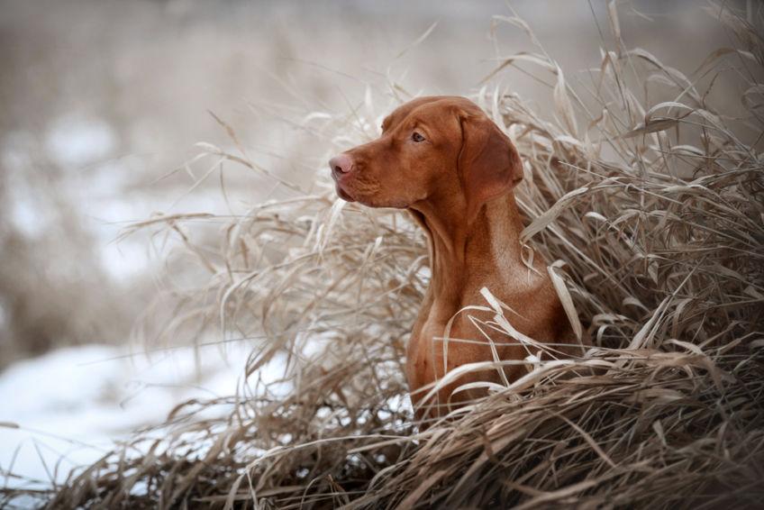 Vizsla portrait in winter grasses