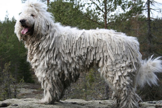 the biggest dogs of the world komodor