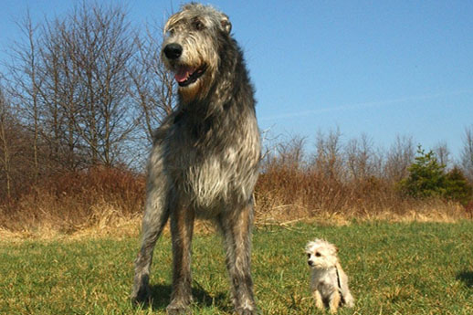 The largest dogs of the world, the Irish Wolfhound