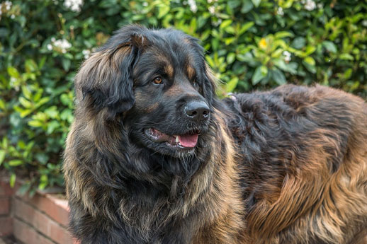 the largest dogs of the world leonberger