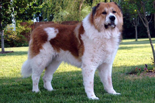 the largest dogs of the world Caucasian shepherd