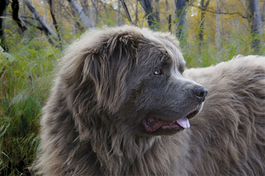 Newfoundland Largest Dogs in the World