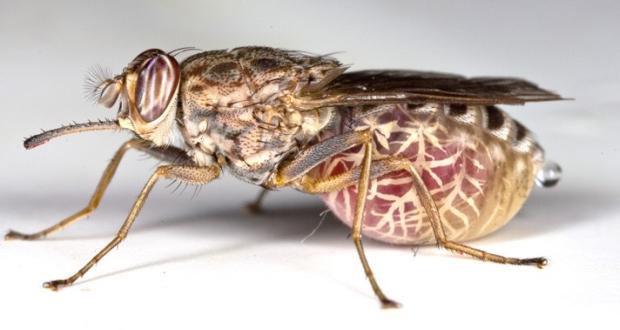 dangerous animals fly tsetse