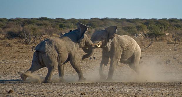dangerous elephants