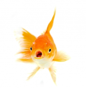 The memory of a goldfish lasts only three seconds
