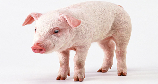 the most intelligent animals pigs