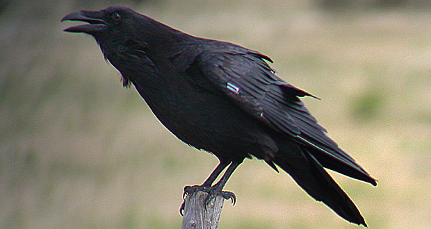 the most intelligent animals ravens