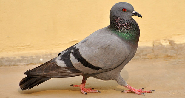 the smartest pigeon animals