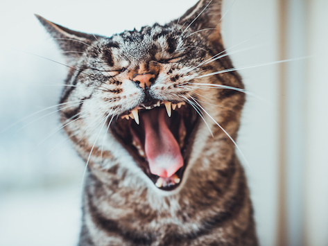 9 interesting facts about your cat's teeth -