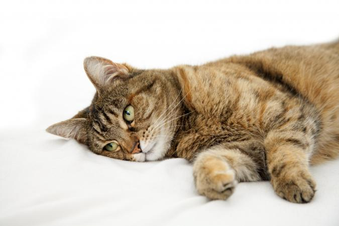 Kidney problems in cats -