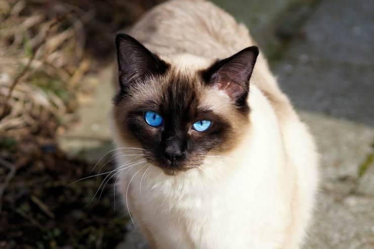 Siamese cat (Pixabay photo)