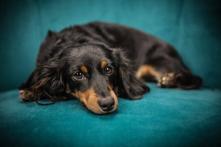 incontinent sad dog