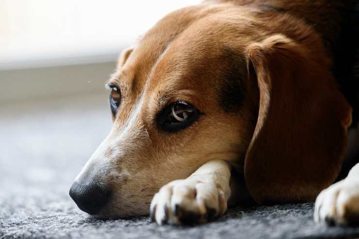 The sad beagle (Pixabay Photo)