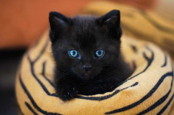 Black kitten with light eyes (Pixabay Photo)